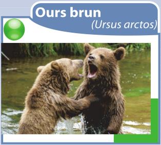 oursbrun