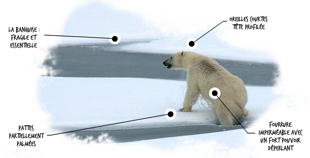 polar-bear-pedago_detourage