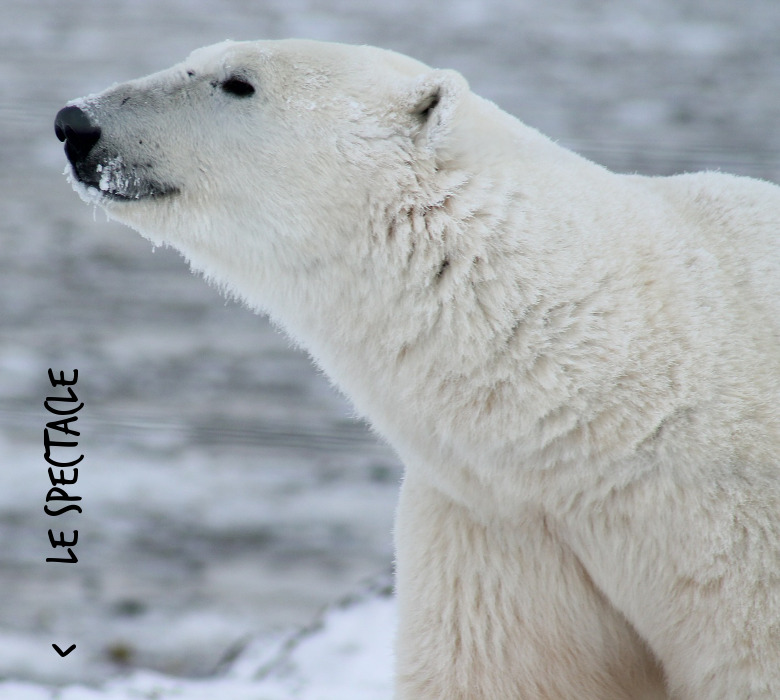 polar-bear-pix