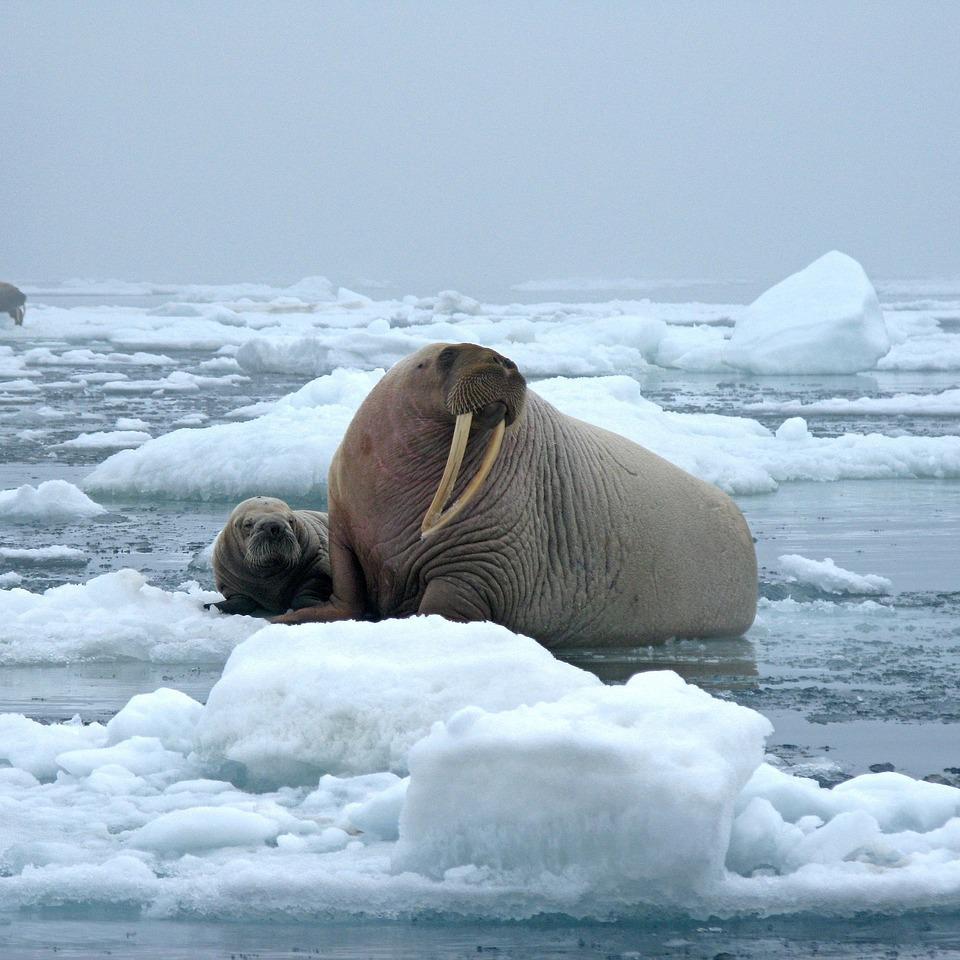 bull-walrus-1030287_1280