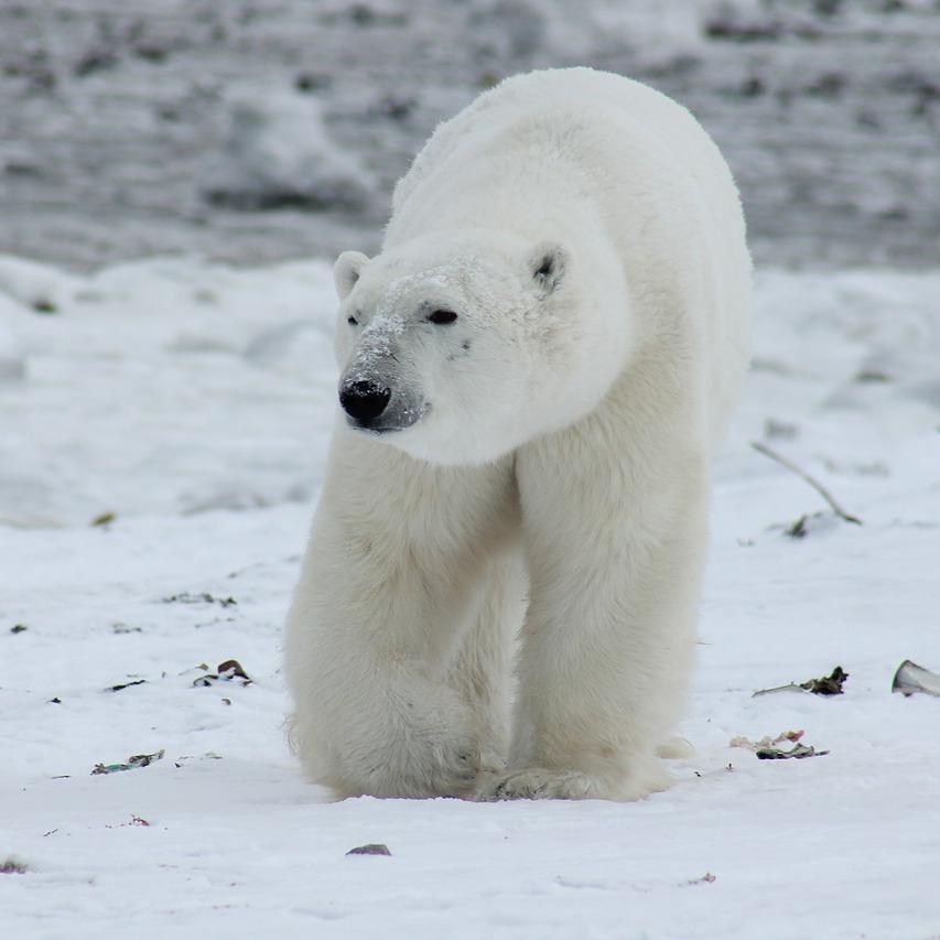 polar-bear-404317_1280