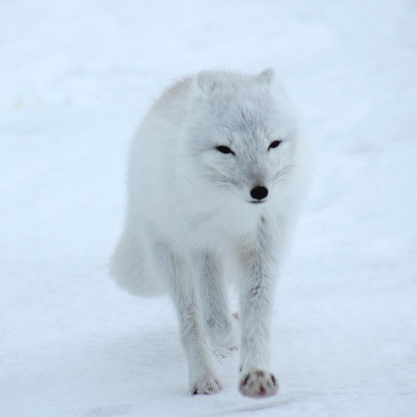polar-fox-404310_1280